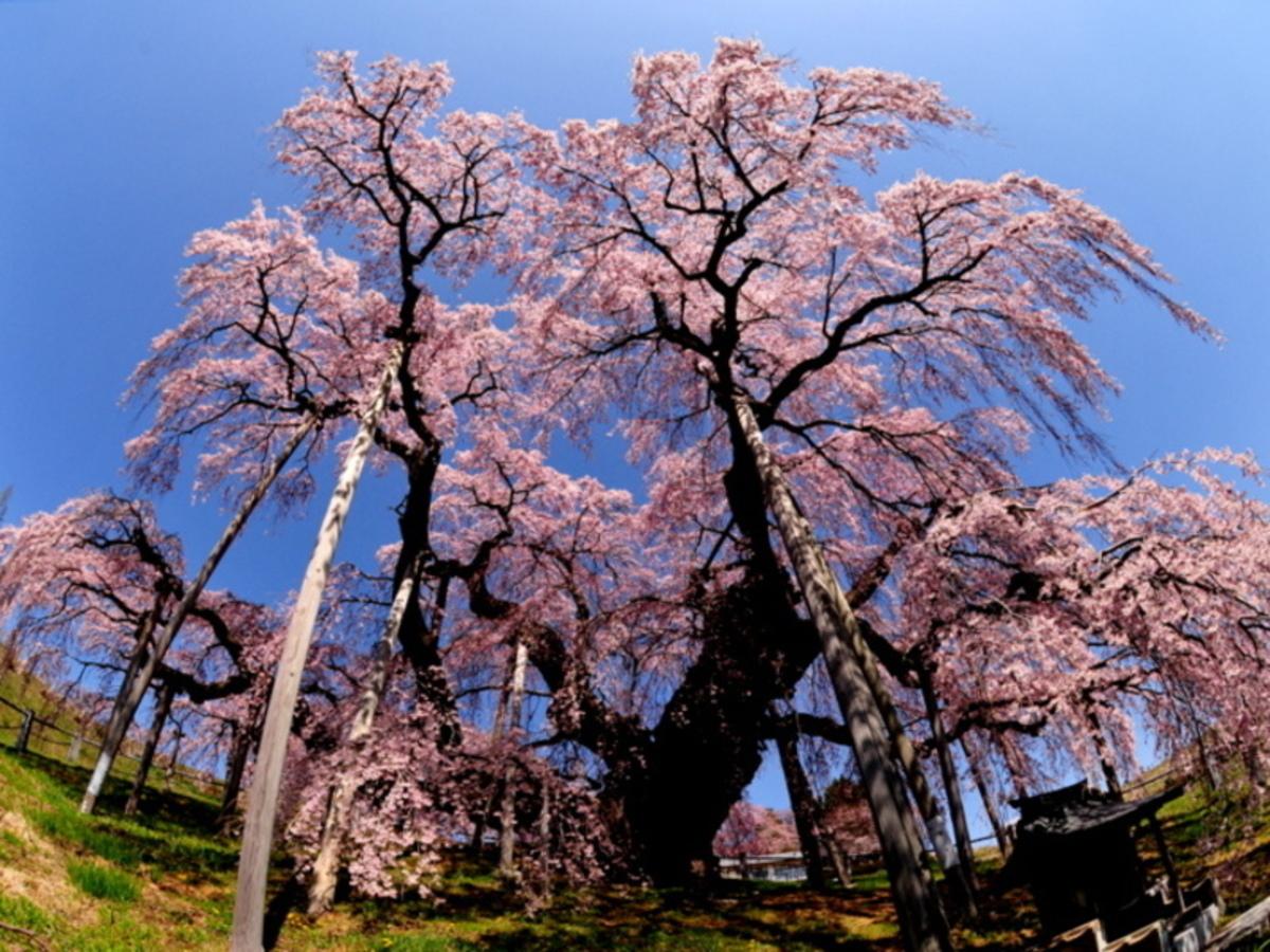 三春滝桜/イメージ
